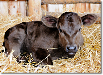 Calf in Hay -Hunts Four Corners Farm