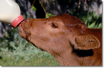 Calf Feeding From Bottle - Hunts Four Corners Farm